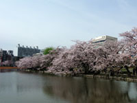 上野 不忍池の桜