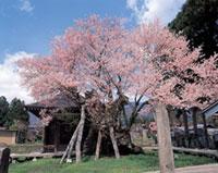 薬師ザクラ(薬師桜)