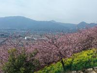 松田町の河津桜「まつだ桜まつり」の桜