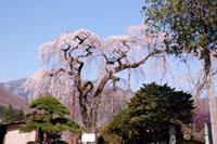 円通寺の桜