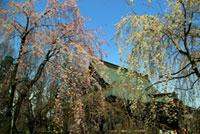 慈眼寺(群馬)の桜