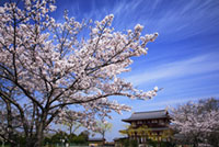 平城宮跡朱雀門の桜