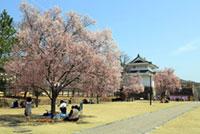 甲府城(舞鶴城公園)の桜