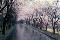 山梨縣護國神社の桜