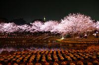別府公園の桜