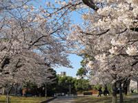 長崎原爆落下中心地(平和公園)の桜