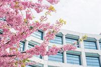 中山競馬場の桜