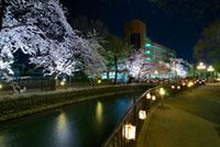 広瀬川河畔緑地の桜