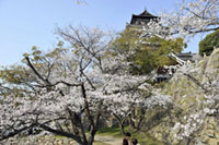 The Cherry Blossoms of Hiroshima Castle