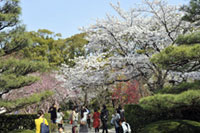The Cherry Blossoms of Shukkeien Garden