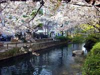 西川緑道公園の桜