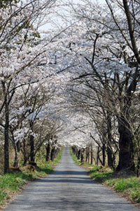 茅部神社の桜の写真