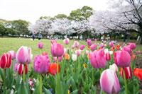入船公園の桜