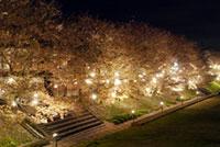 ふくみつ河川公園(小矢部川公園千本桜)