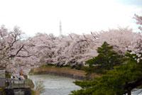 常西用水プロムナードの桜