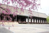 三十三間堂の桜