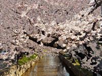 玉串川の桜並木