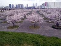 さくら広場(幕張)の桜