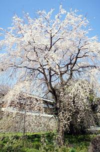 東郷寺の桜