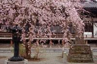 本覚寺の桜