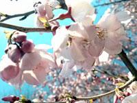 蘆花恒春園(芦花公園)の桜