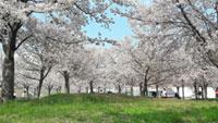 さくら広場(門真)の桜