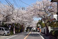 鎌倉山桜並木