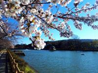 長岡天満宮 八条ヶ池の桜
