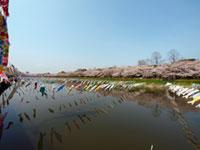 鶴生田川の桜