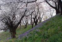 総社二子山古墳の桜