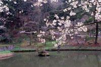 芦山公園の桜