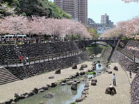 西山ダム公園の桜