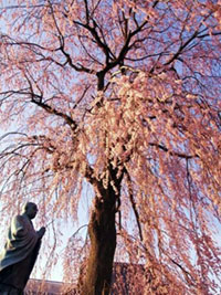 伝法寺の桜
