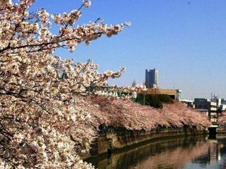 大岡川プロムナードの桜写真1