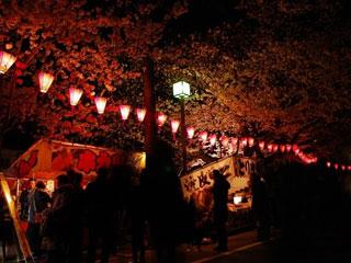 大岡川プロムナードの桜の写真3