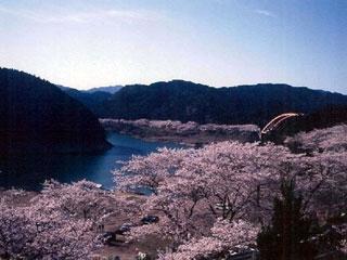 七川ダム湖畔の桜写真1