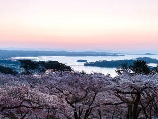 西行戻しの松公園の桜写真2