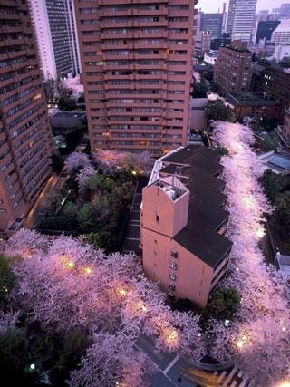 アークヒルズの桜写真1