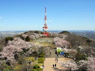 高麗山公園の桜写真1