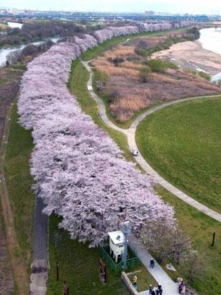 淀川河川公園背割堤地区の桜写真1
