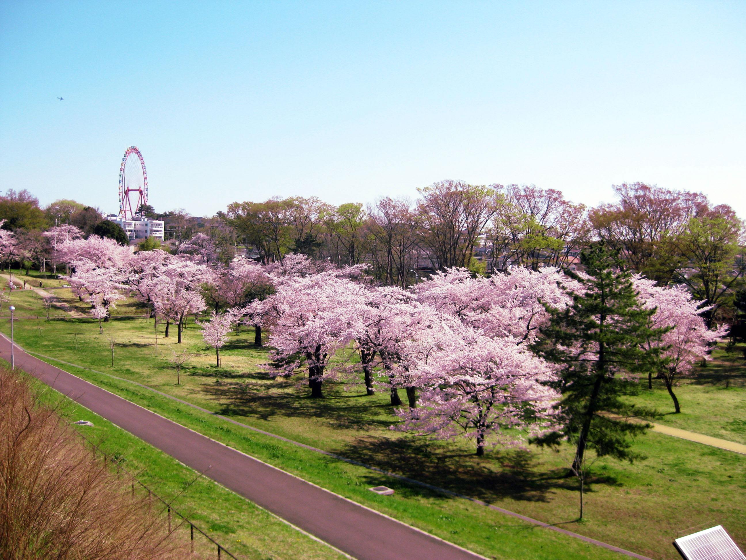 狭山公園の桜|花見特集2018