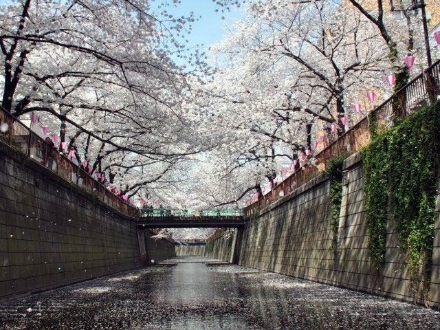 目黒川の桜|花見特集2017