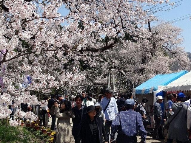 伊佐沢の久保桜|花見特集2018