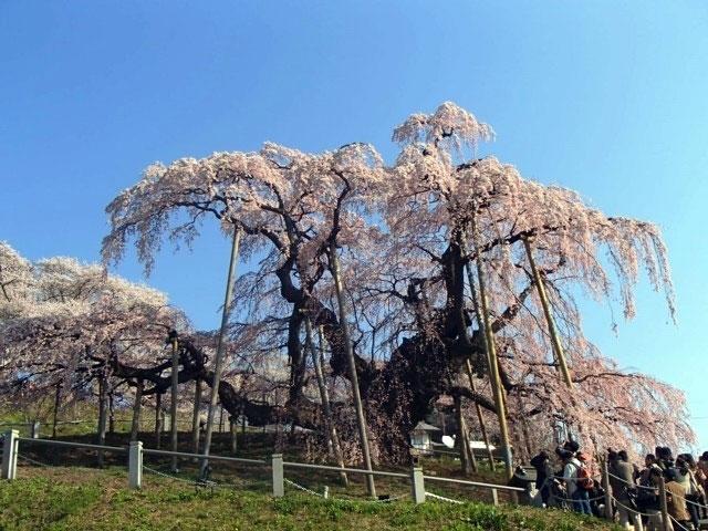 三春滝桜|花見特集2018