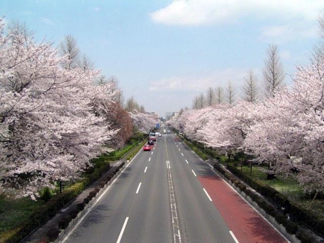 国立市大学通り・さくら通りの桜...
