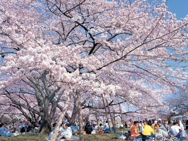 lightbox 榴岡公園の桜写真1