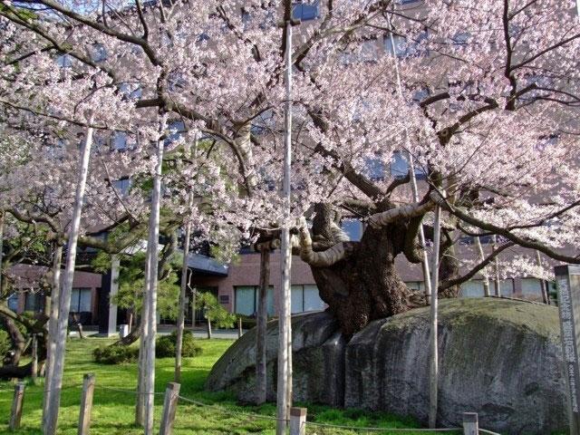 「石割桜」の画像検索結果