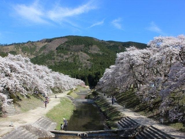 鮎河の千本桜|花見特集2021