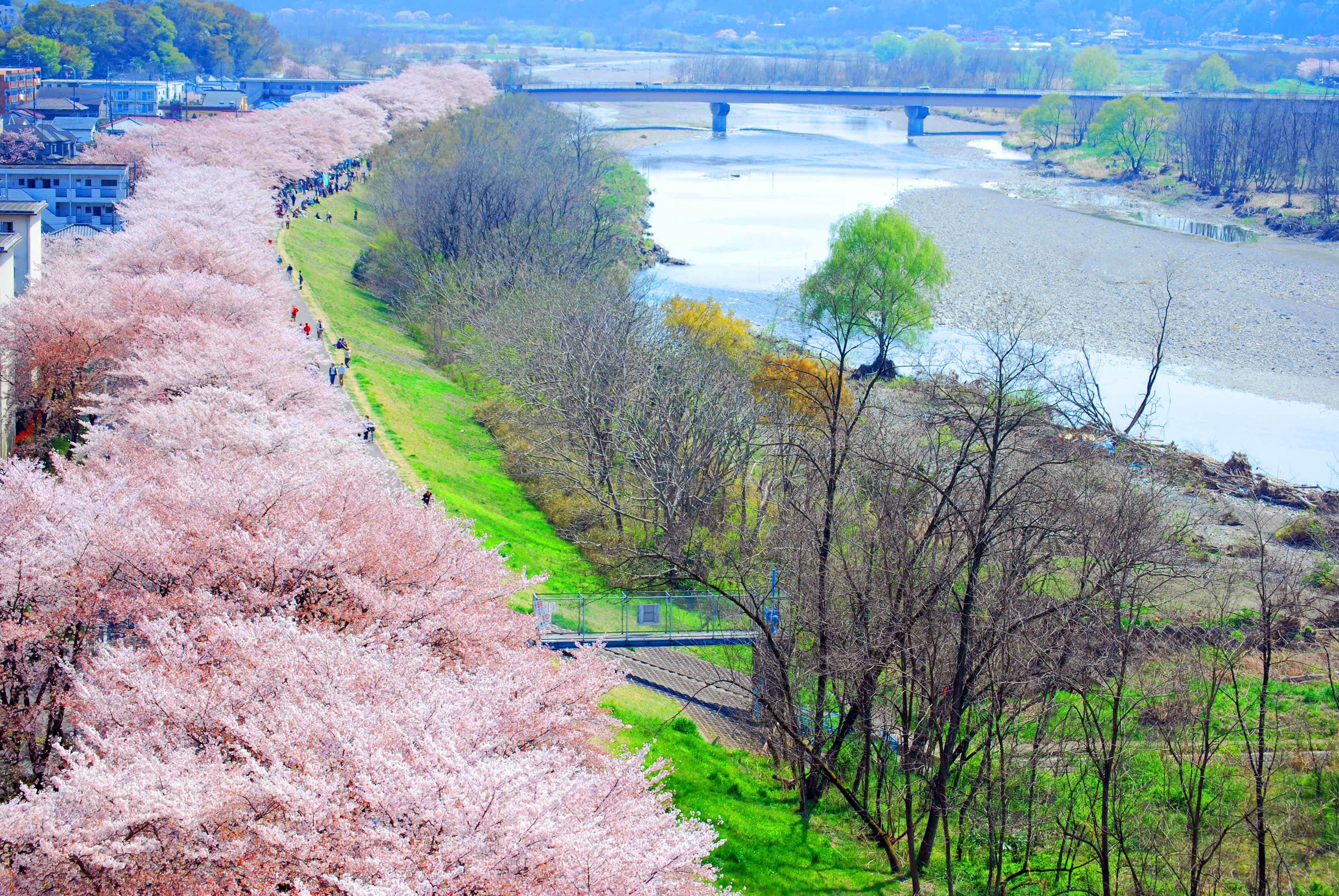多摩川堤防沿い(福生市)の桜|花見特集2019