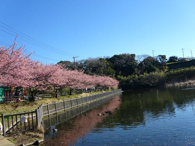 河津 桜 三浦 海岸 2021 三浦海岸の河津桜|花見特集2021